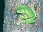 20080930-green_tree_frog